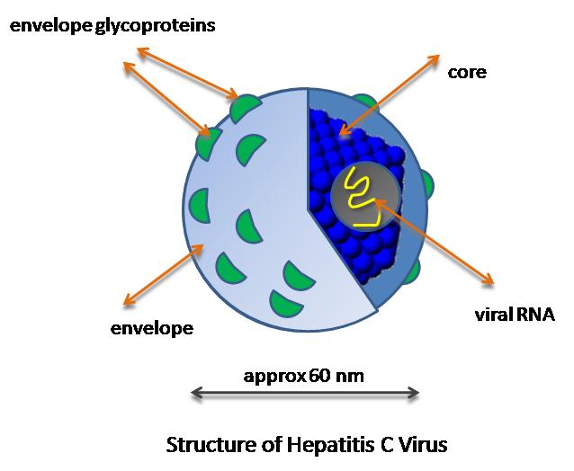 Hepatitis B virus  Wikipedia