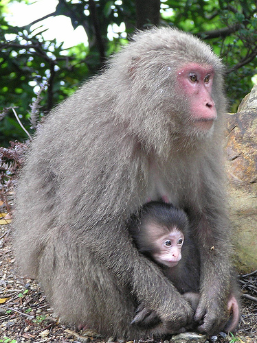 Japanese Macaque Mom and Infant.jpg