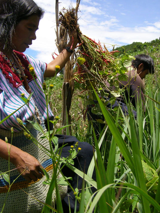 milpa agriculture vs industrial agriculture