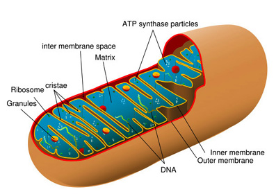 Mitochondria are the 'power plants' of cells that convert organic materials into energy. Mitochondria have their own DNA