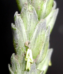 File:Wheat250px-Spiklet.jpg