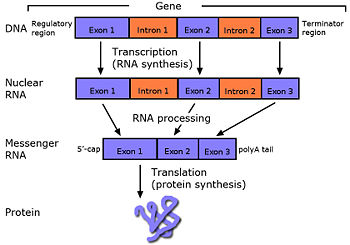 Intron encyclopedia article citizendium cc diagram thomas wright sulcer from a gene in dna to a protein involves the splicing out of introns ccuart Images