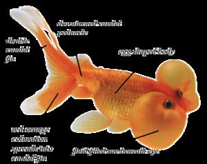 Bubble-eye Goldfish - encyclopedia article - CitizendiumCitizendium