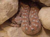 Palestine saw-scaled viper