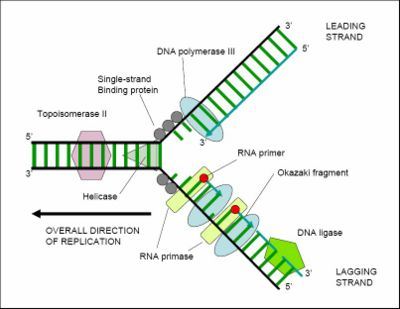 Replication of a circular bacterial chromosome - encyclopedia ...