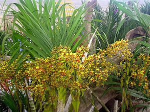 how to produce salap orchid roots