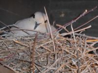 Mourning dove on nest in Tucson