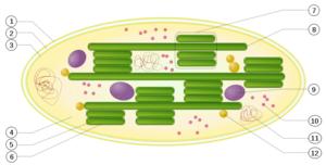 Schematic Of A Chloroplast 1 Outer Membrane 2 Intermembrane Space 3 Inner Envelope 4 Stroma Aqueous Fluid 5 Thylakoid Lumen