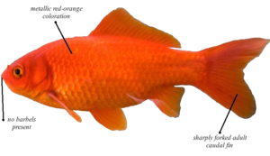 Comet Goldfish Male Or Female