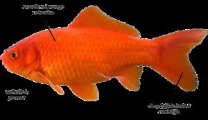 Common Goldfish - encyclopedia article - CitizendiumCitizendium