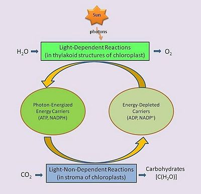 steps of photsynthesis Photosynthesis all materials photosynthesis is not a simple one step reaction but a biochemical pathway involving many steps continue reading photosynthesis.