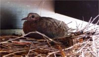 Mourning dove squab.