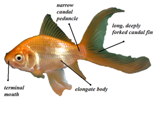 Gold Fish Diagram - Wiring Diagram For Light Switch •