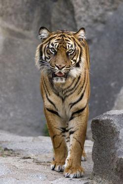 Panthera tigris (Tiger) - encyclopedia article - Citizendium