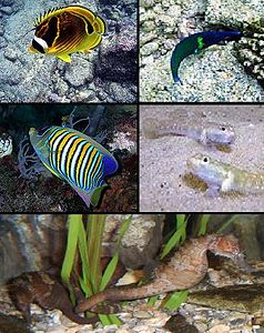 Clockwise from top-left:Butterflyfish, Wrasse, Goby, Seahorse, and Anelfish.