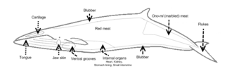 Most commonly butchered portions of a Minke whale.