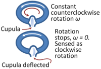 When the semicircular canal stops rotating, inertia causes the cupula to register a false rotation in the opposite sense.