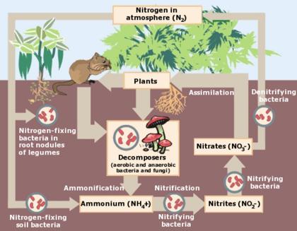 Nitrogen cycle - encyclopedia article - Citizendium