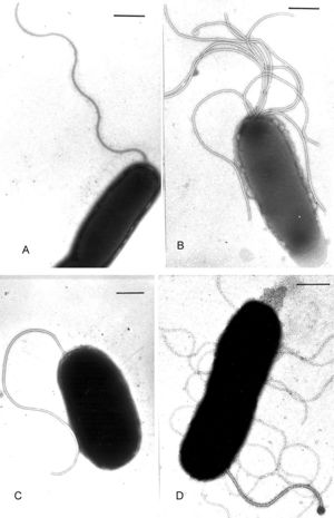 Vibrio harveyi - encyclopedia article - Citizendium
