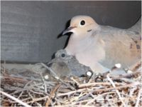 Mourning dove with squab.