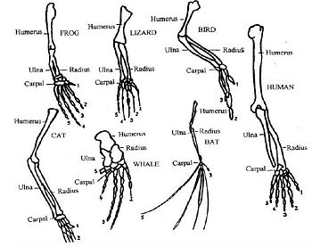 Compare Limbs Of Humans And Cats